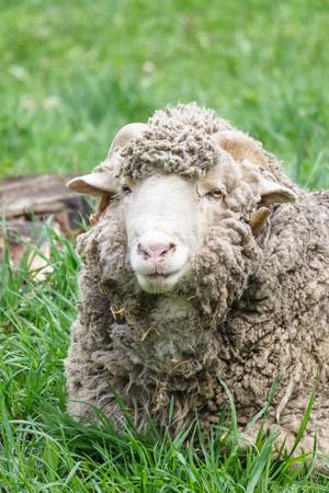 ram sheep: Portrait of an old ram sheep lying in a grassy pasture