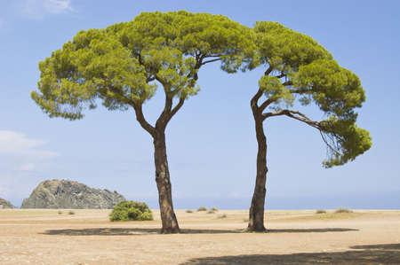 crown spire: Green Italian pines. A sea landscape.