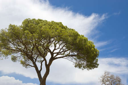 crown spire: Green Italian pine against the sky. Stock Photo
