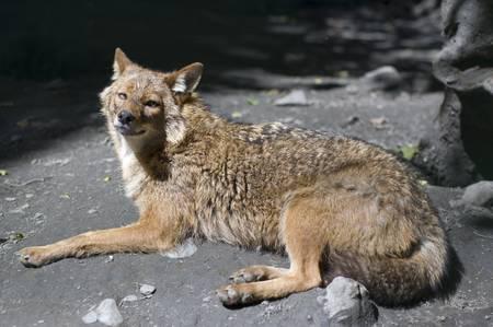 composure: Il lupo grigio ha un periodo di riposo Archivio Fotografico