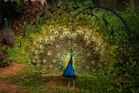 Peacock spreads its tail Banco de Imagens