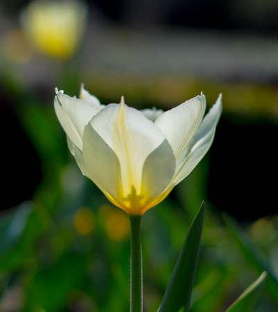 botanics: Tulip flower