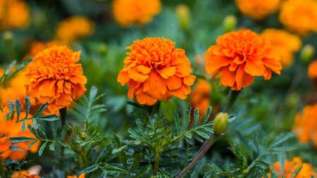 botanics: Marigold flowers close up photography.