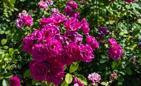 botanics: Pink roses bunch in nature.