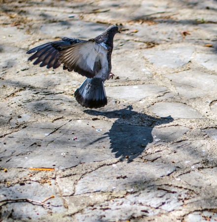 Pidgin flying and shadow