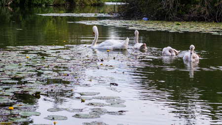 Swans at Savice lakes in Zagreb