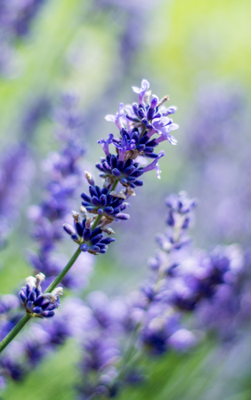 Lavender blooming close up photography in summer Imagens