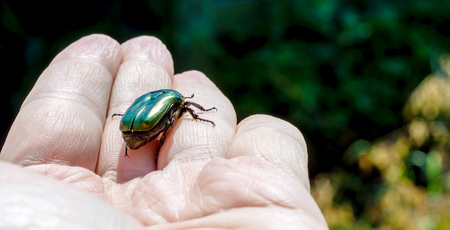 Green June beetle on a palm of a hand close up photo