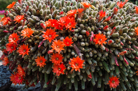 Scarlet hedhog cactus with lots of flowers