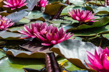 Water lily flowers in a pond close up photography