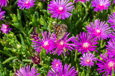 Ice plant flowers with butterfly on it