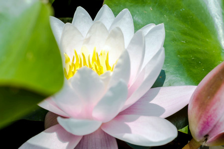 Water lily flower blooming in a pond Imagens