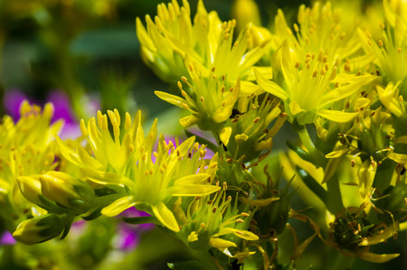 Hypericum Perforatum, Saint Johns wort close up photography
