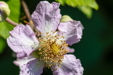 Blackberry flower close up macro photography