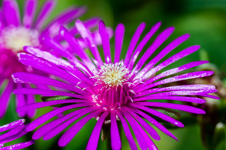 Ice plant flower close up with macro details.