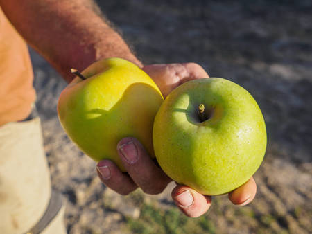 Farmer man hands picking green apples with his hand