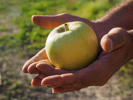 Farmer man hands picking up green apple with his hand Stock Photo