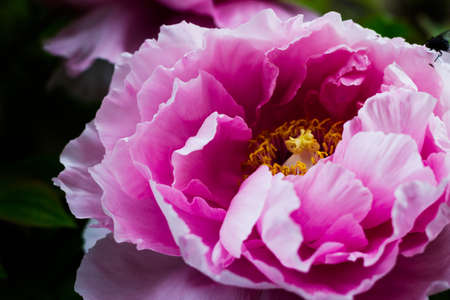 Pink flowers blooming on the pink peonies with a blurred background. Peony garden. Archivio Fotografico