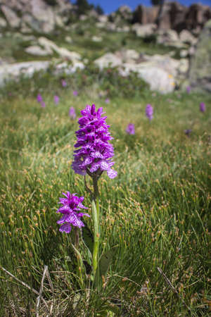 Early Purple Orchid Wild Flower (Orchis mascula) in a Grassy Meadow on the Andorra