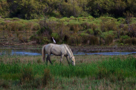 Bird perched on the back of a white horse grazing freely in the field. Concept of animals in freedom.