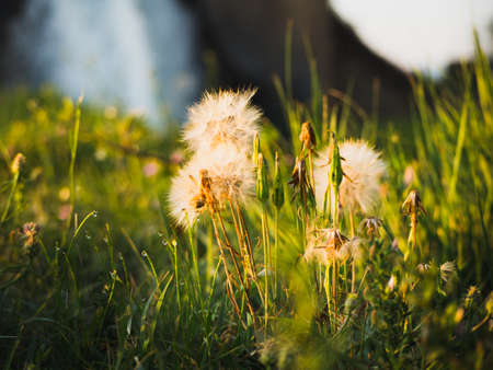 Dandelions in spring and colors. Concept happiness.