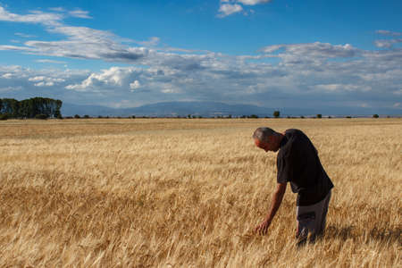 Farmer touching a golden ear of wheat in the wheat field. Concept of agriculture.