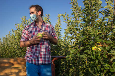 Young man in plaid shirt picking golden apples in a fruit tree plantation with face mask for coronavirus protection.