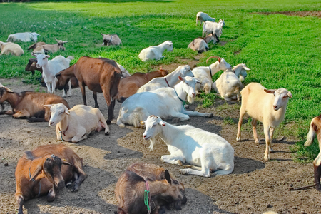 Herd of goats grazing in the meadow home
