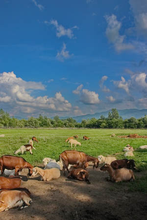 bevy: Herd of goats grazing in the meadow home