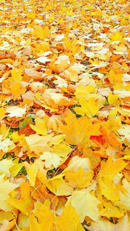 Autumn foliage beige yellow after a rain Stockfoto