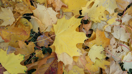Autumn foliage beige yellow after a rain Stockfoto - 110592724