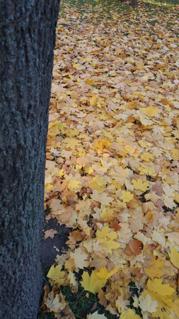 Autumn foliage beige yellow after a rain Stockfoto - 110592725