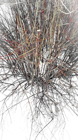 Branches of a bush on a background of snow in winter
