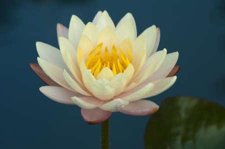 Pink lotus Stock Photo - 12421085