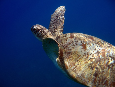 naama bay: Green Turtle Swimming, Sharm El Sheikh, Egypt
