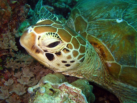 tortue verte: Close-up d'une tortue verte, Maratua, Indon�sie Banque d'images