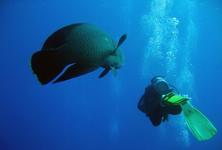 napoleon fish: Napoleonfish and Diver Swimming Together, Ras Mohammed, Egypt Stock Photo
