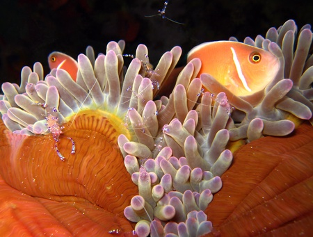 pink anemonefish: Pink Anemonefish & Tosa Commensal Shrimps, Panglao, Philippines Stock Photo