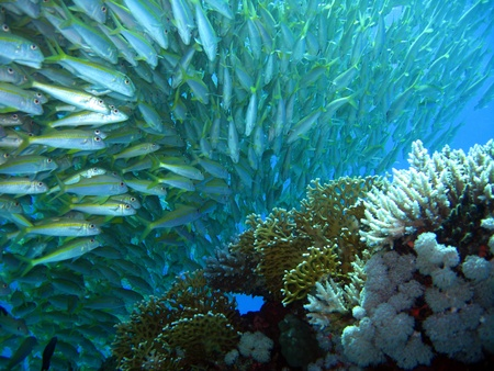 coral ocean: School of Yellowfin Goatfish, Hurghada, Egypt