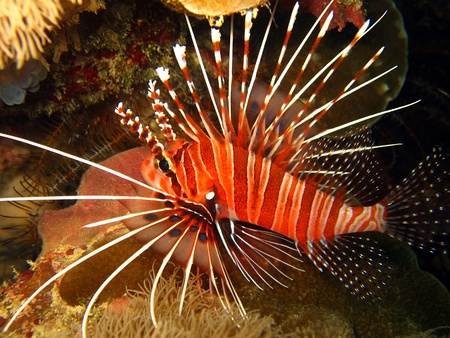 Spotfin Lionfish, Maratua, Indonesia Stock Photo - 11357500