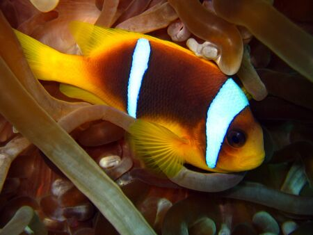 Red Sea Anemonefish, Hurghada, Egypt photo