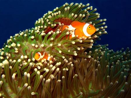 West-Clown-Anemonenfisch Paar bei Martatua Island, Indonesien Standard-Bild - 11732412