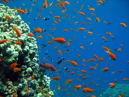 basslet: Joya de hadas Basslets y Extractores Bicolor, el estrecho de Tiran, Egipto
