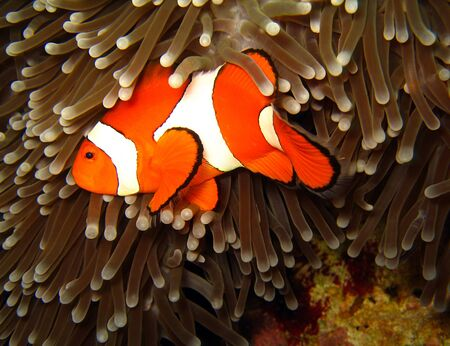 Western Clown-anemonefish at Martatua Island, Indonesia photo