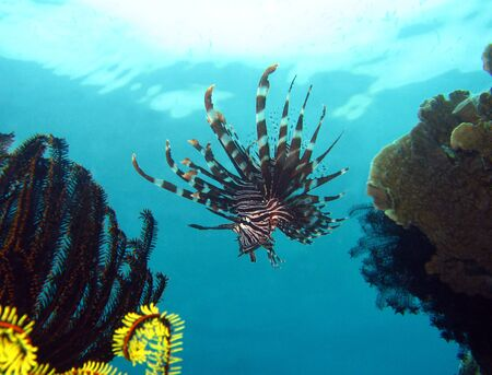 common lionfish: Common Lionfish, Maratua, Indonesia