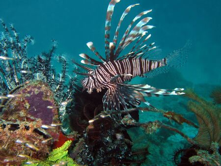 common lionfish: Common Lionfish, Mabul, Borneo, Malaysia