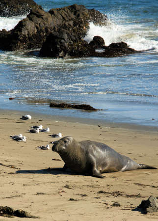 Elephant Seal, Piedras Blancas, California, USA photo