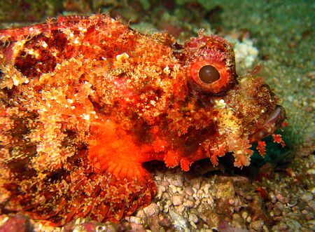 Close-up of Humpbacked Scorpionfish, Malapascua, Philippines photo