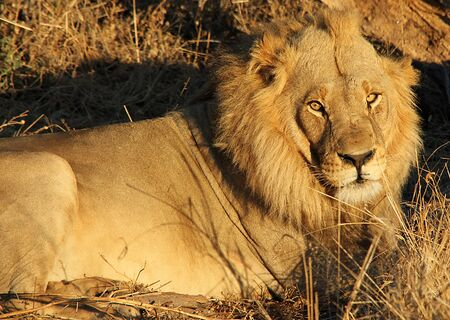 botswana: Male Lion Resting, Khwai River, Botswana Stock Photo