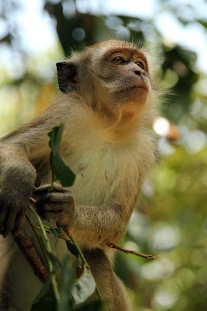 taman: Long-tailed Macaque, Taman Negara, Malaysia